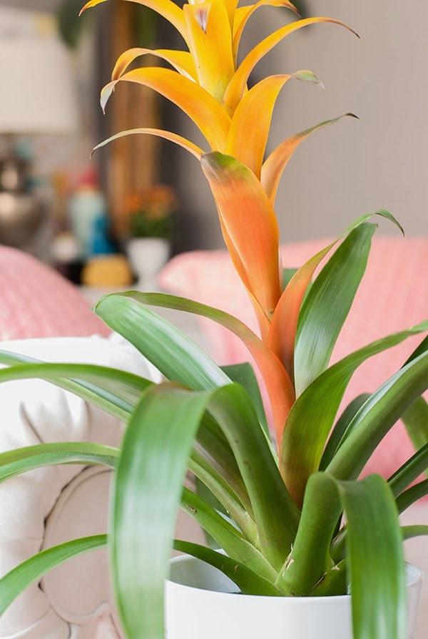 orange blush bromelia plant