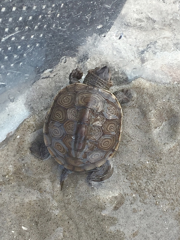 turtle found on the beach in Avalon