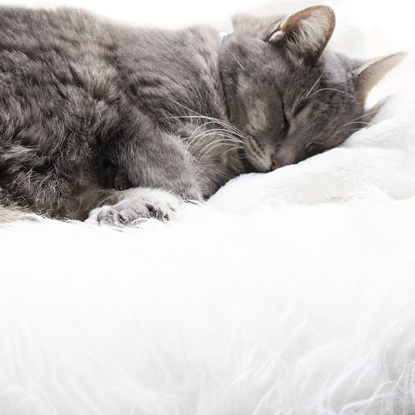 cat sleeping in fur
