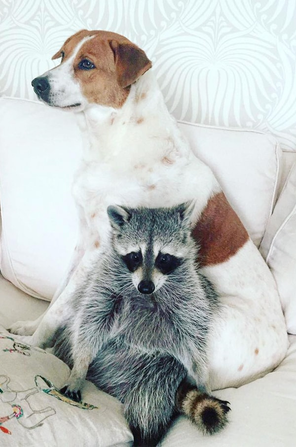 pumpkin the racoon