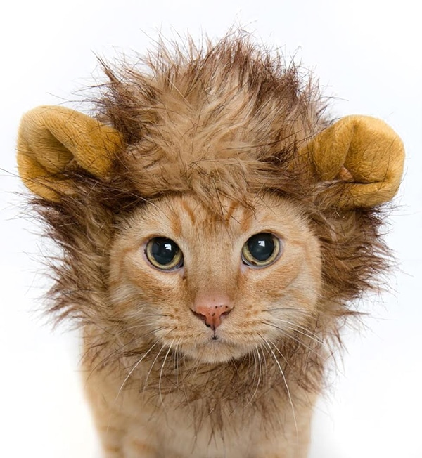 cat in a lion costume
