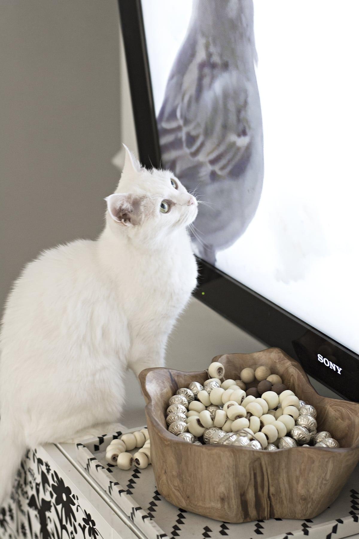 white cat watching TV