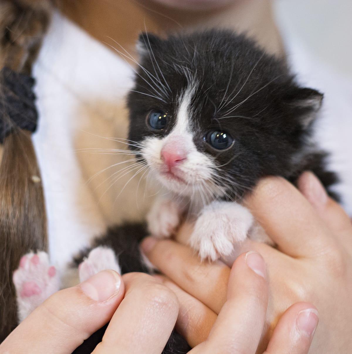 3 week old tuxedo kitten