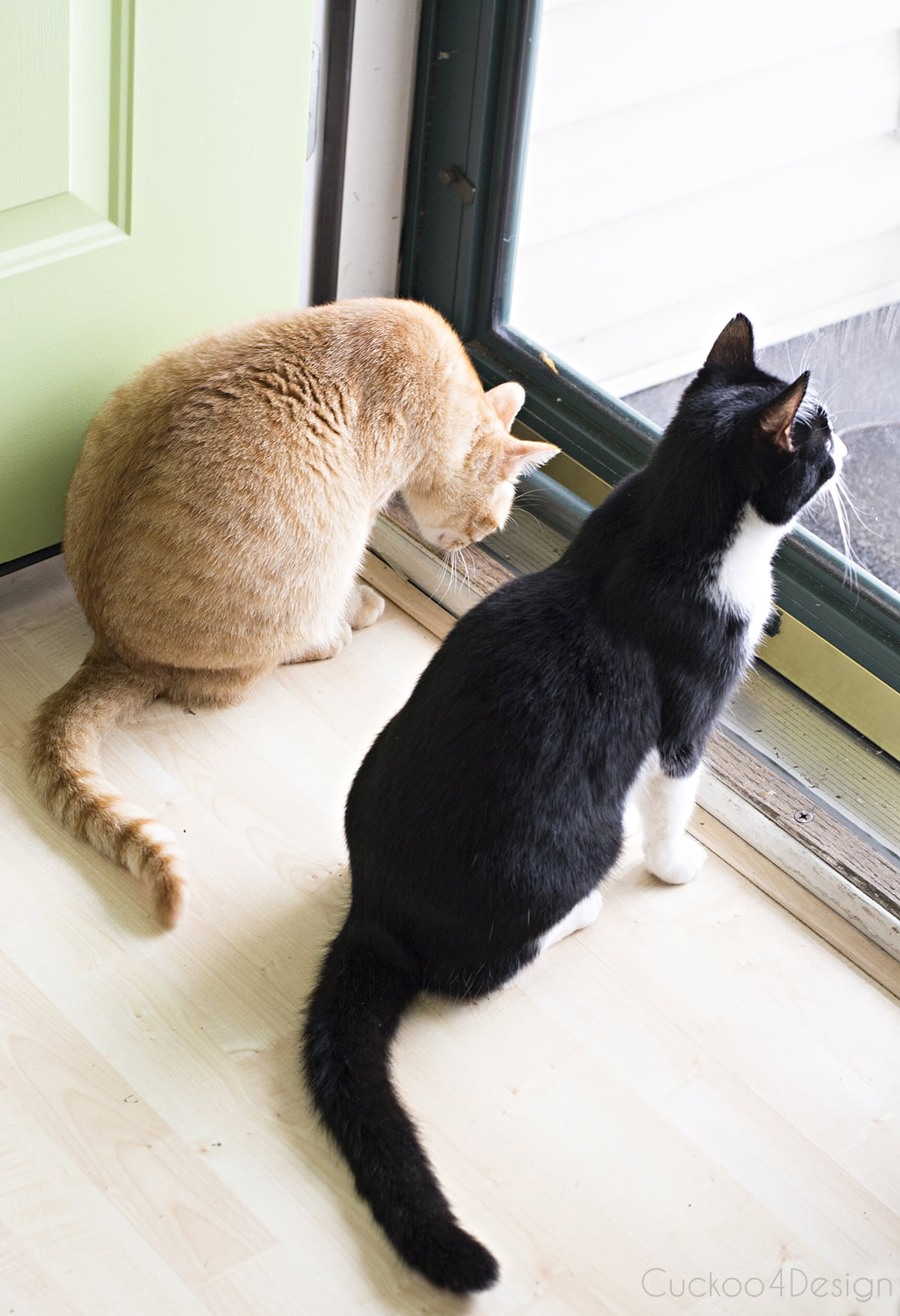 orange tabby and tuxedo cat by the front door
