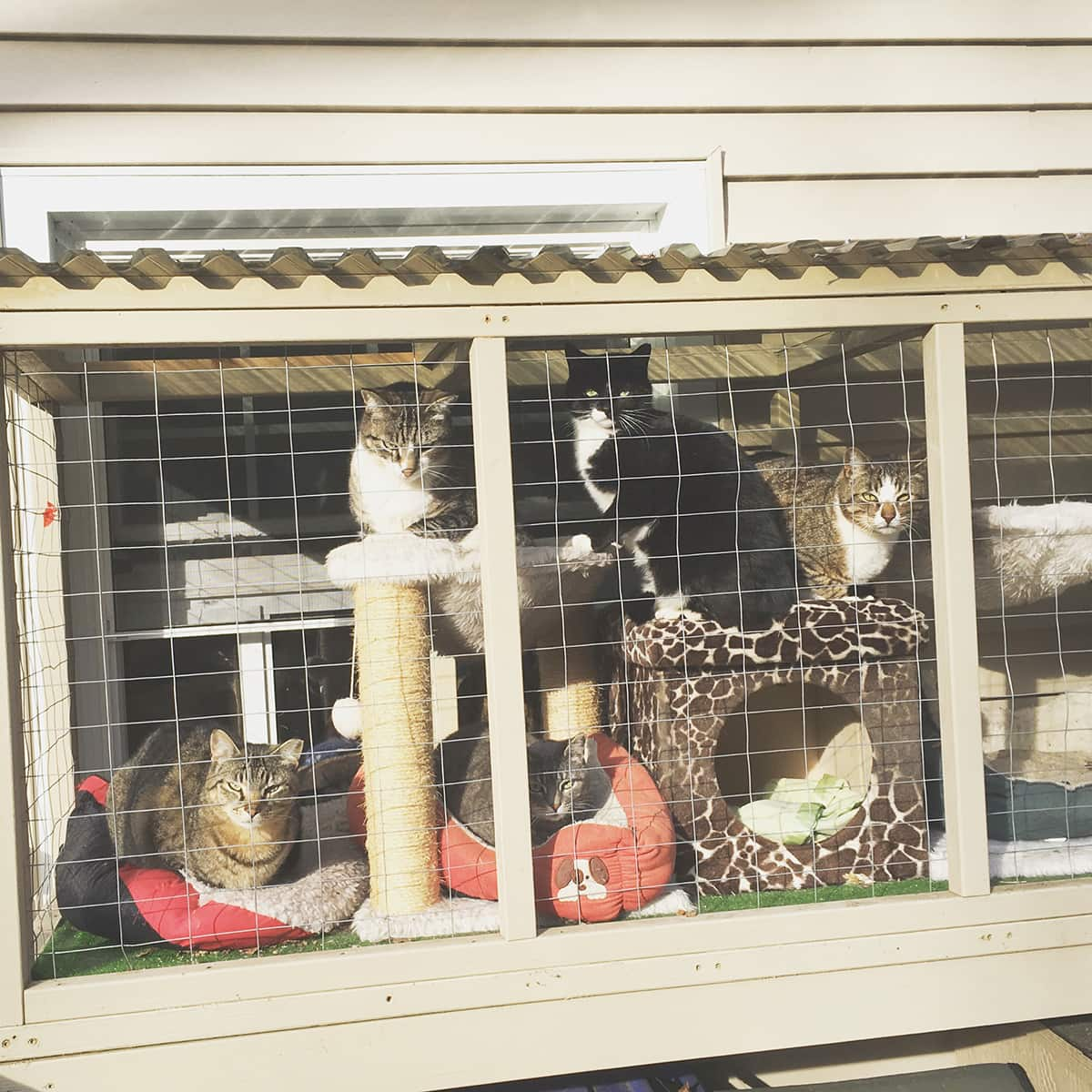 cats lounging in outdoor cat cage catio