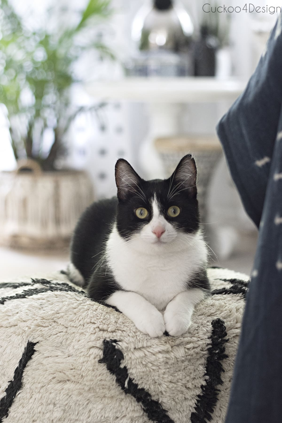 tuxedo cat posing