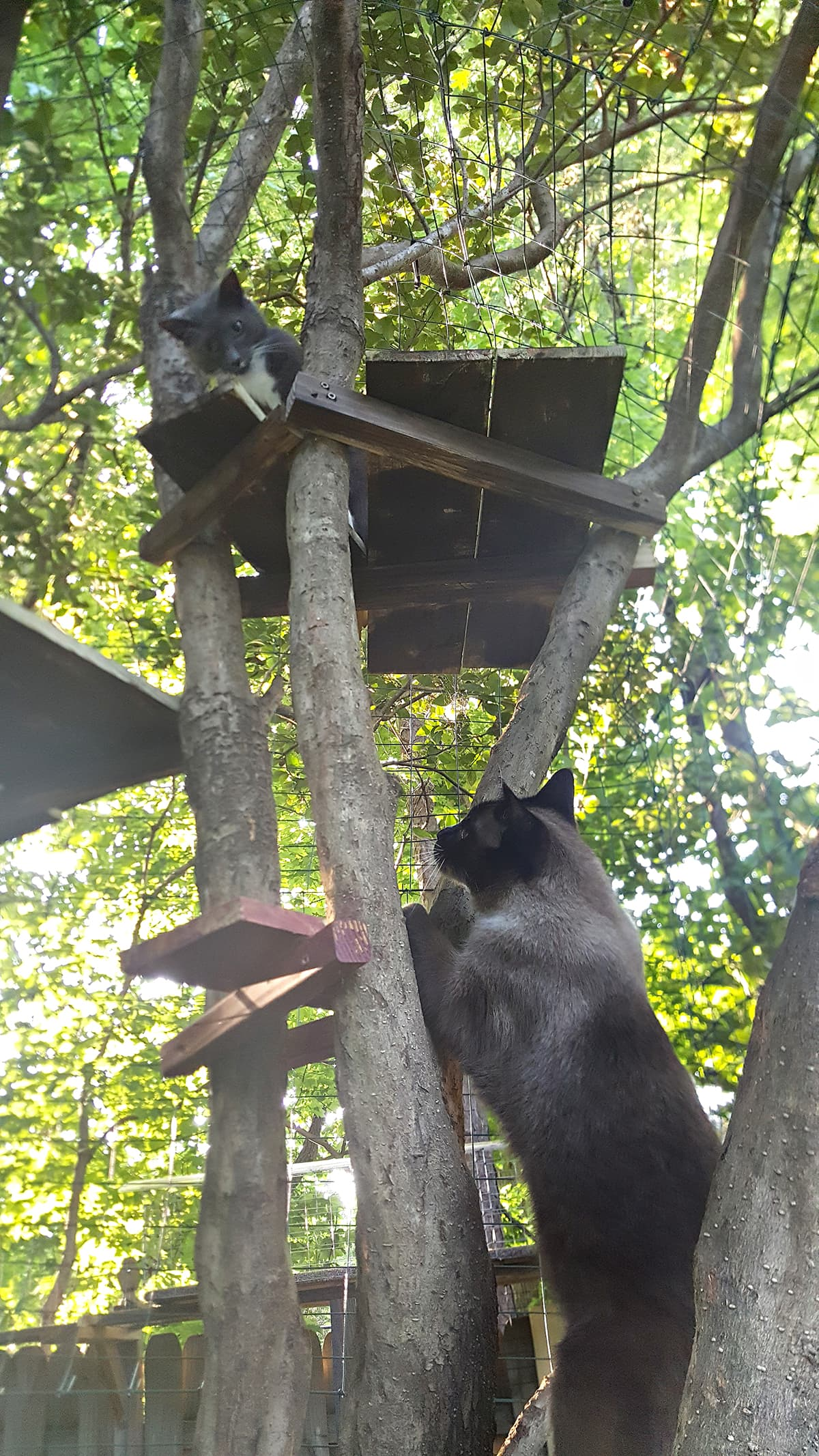cats climbing in their outside cat enclosures