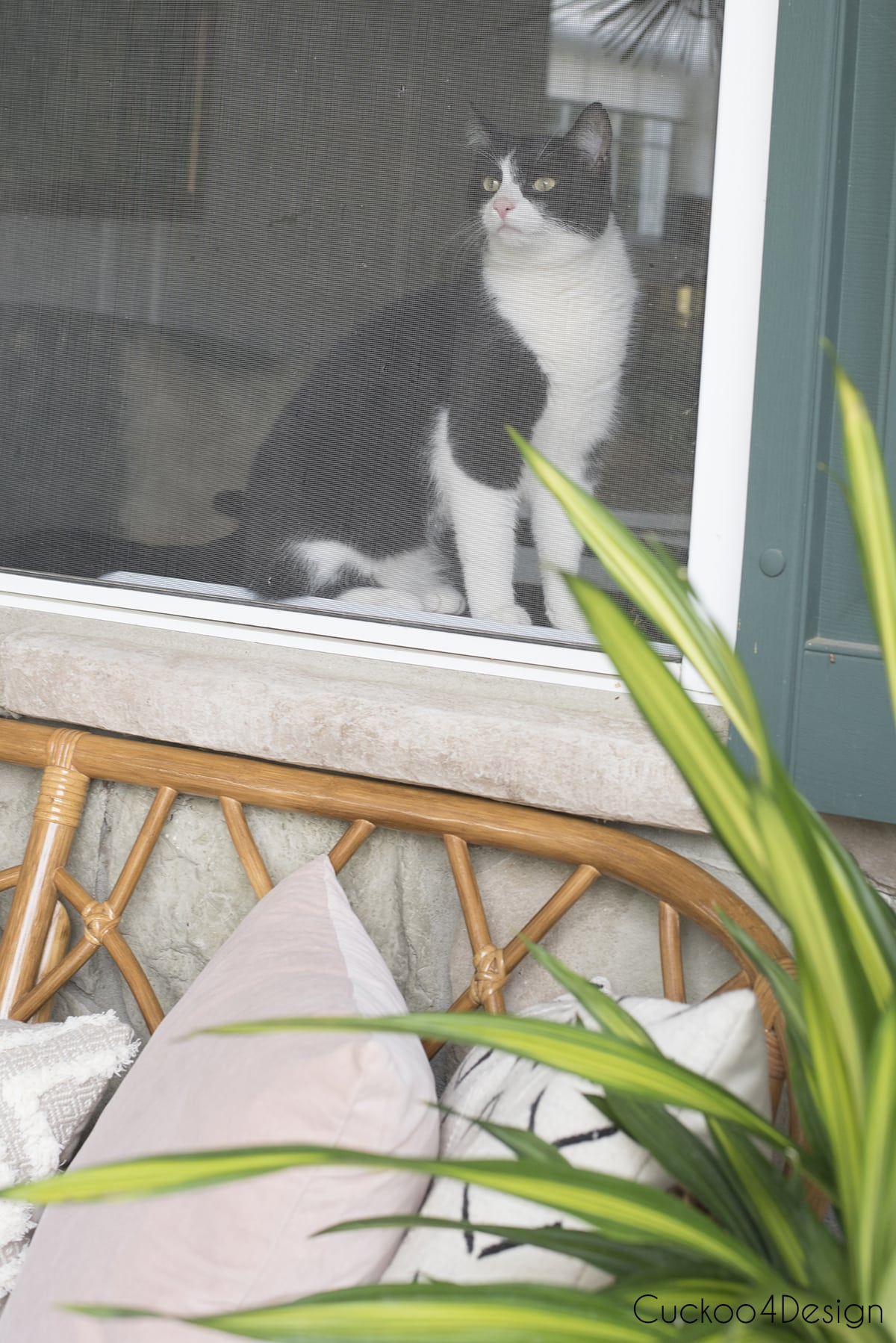tuxedo cat in window