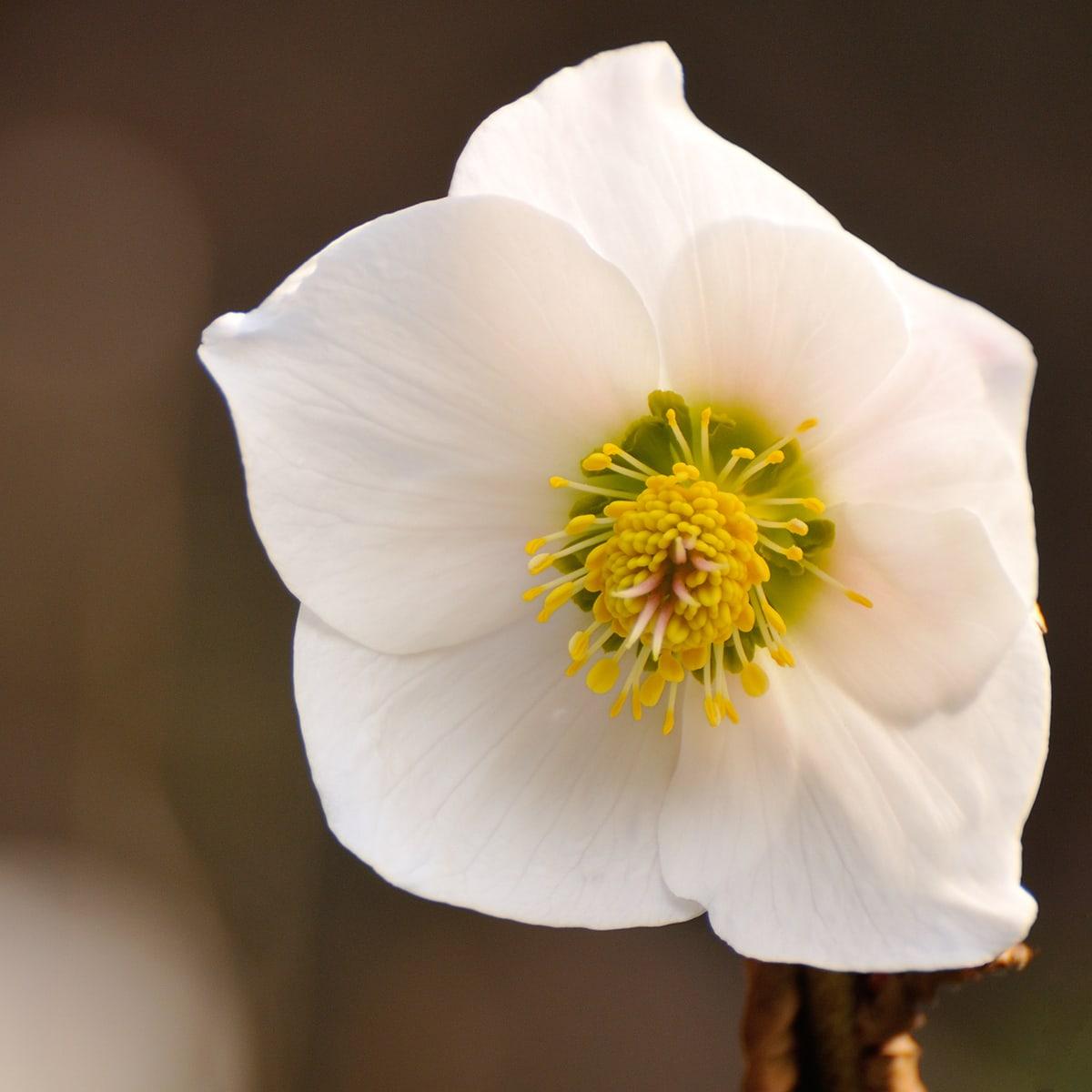 Hellebore (Helleborus niger) or Christmas Rose flower