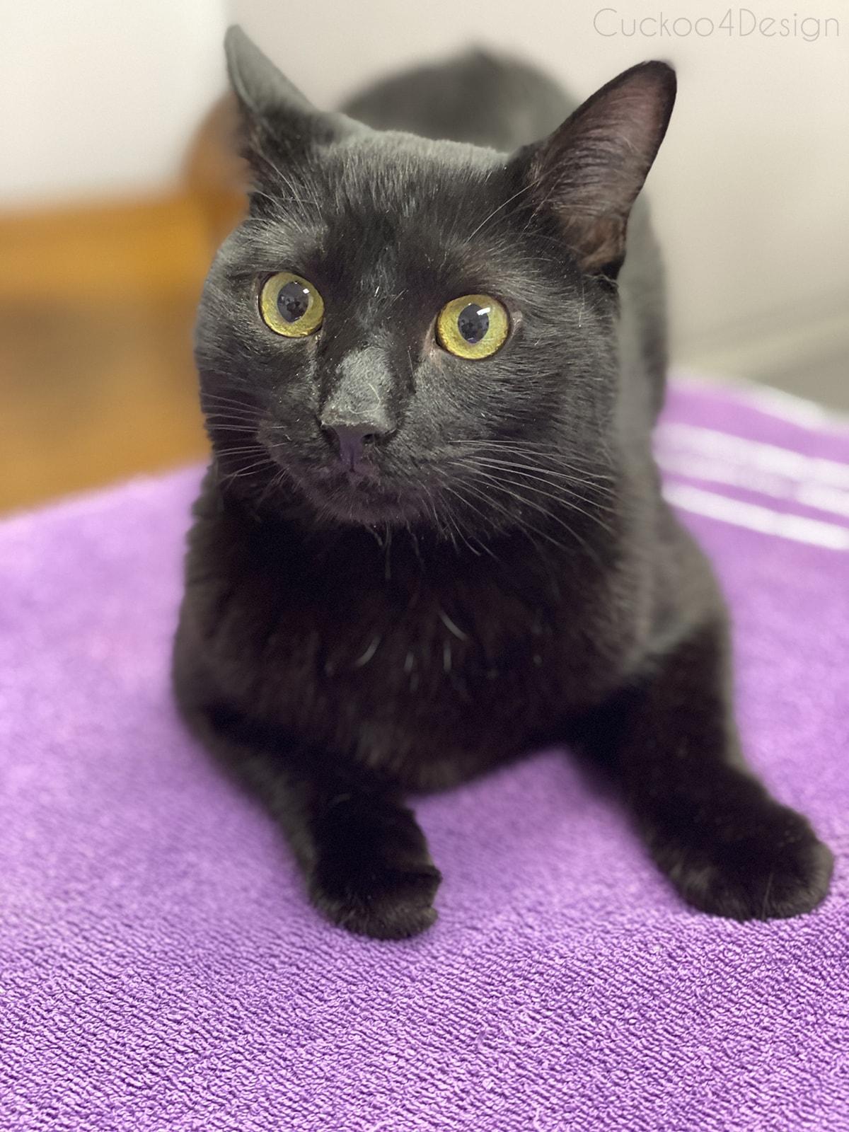 black cat at veterinarian getting shots