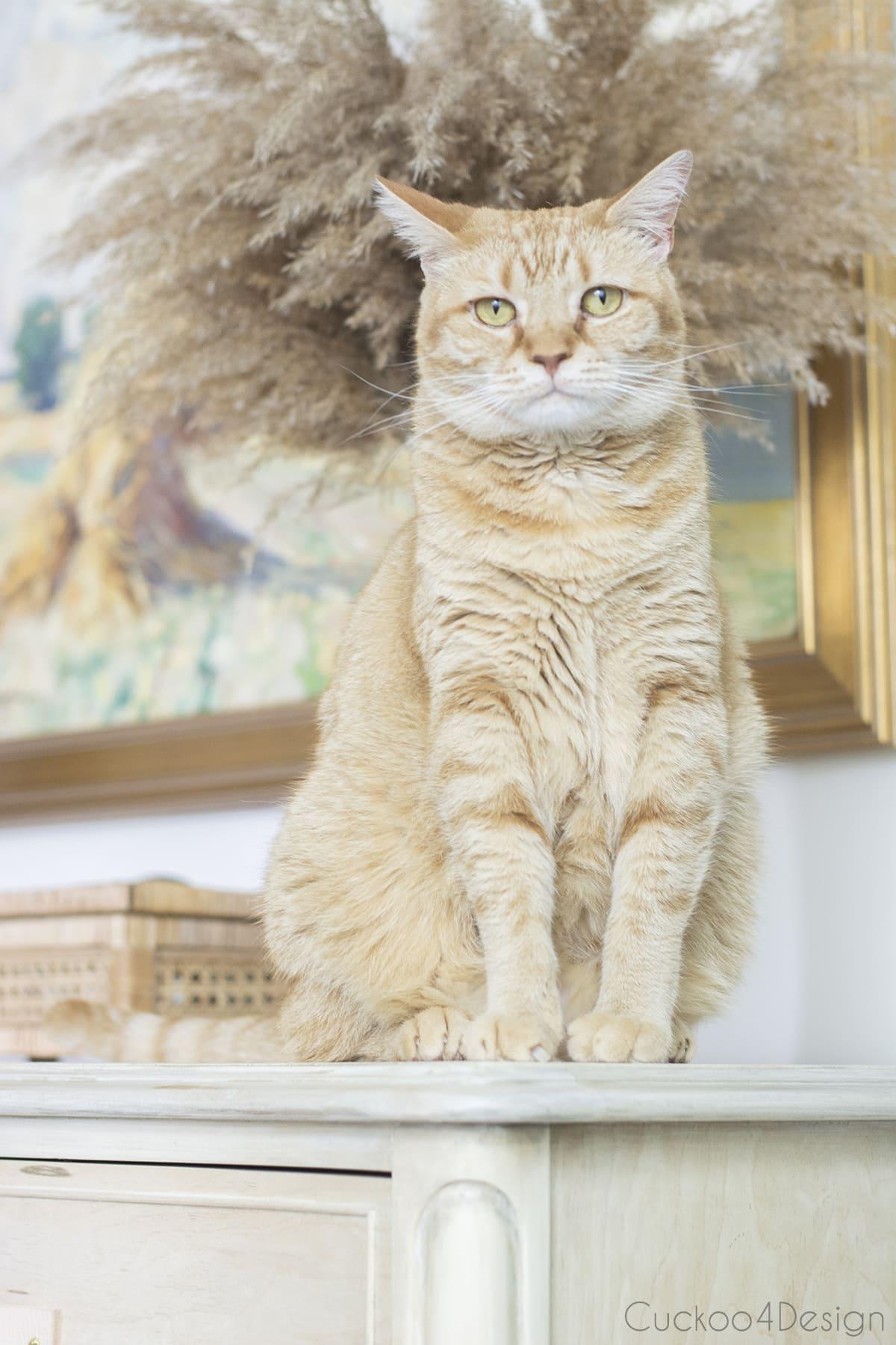 orange tabby sitting on wood bleached dresser