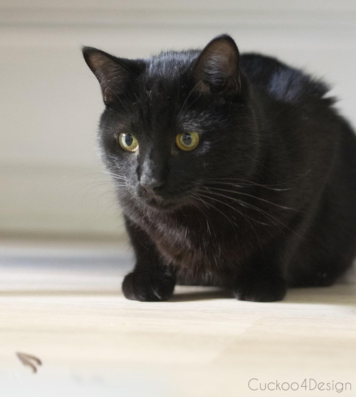 black cat catching lantern fly