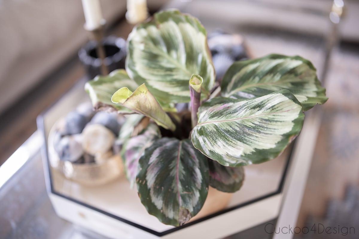 Calathea Roseopicta 'Medallion' on coffee table