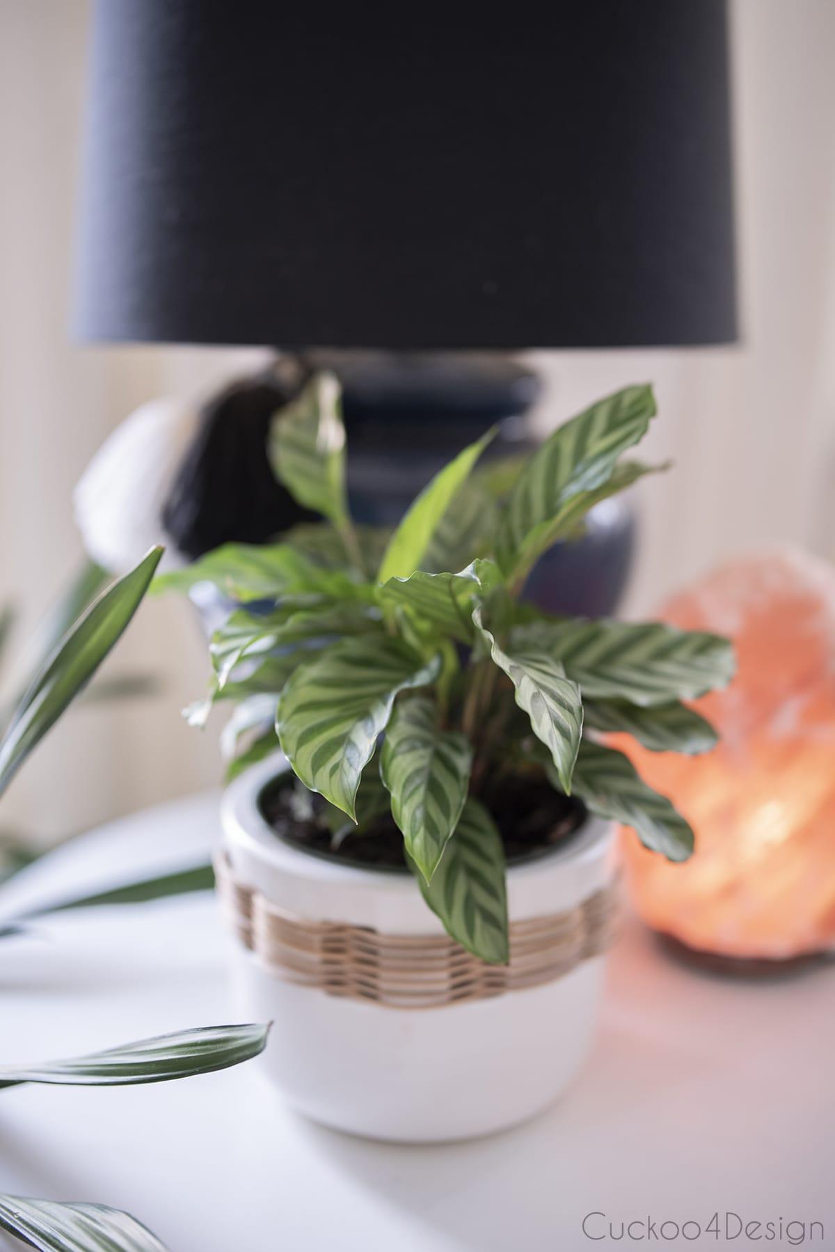 Calathea Cocinna in white pot