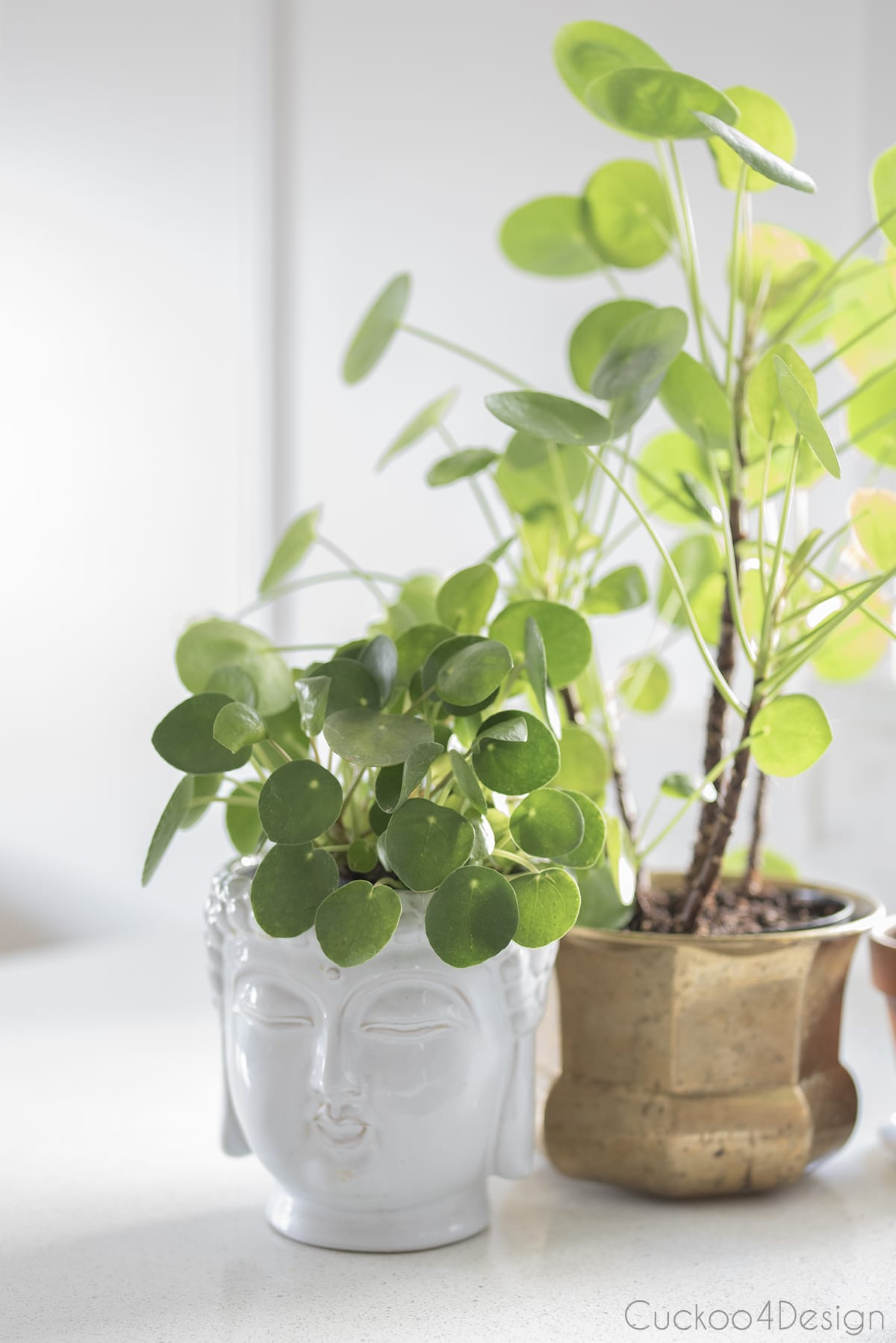 Chinese Money Plant in buddha flower pot on kitchen counter